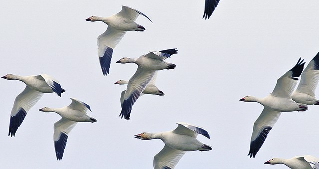 Photo of a flock of migratory birds flying.