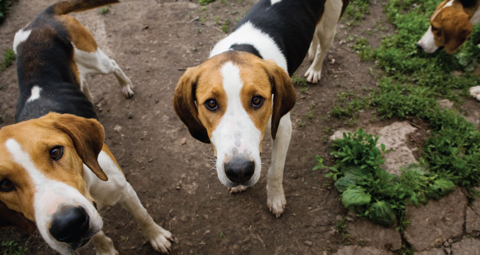 photo of foxhounds