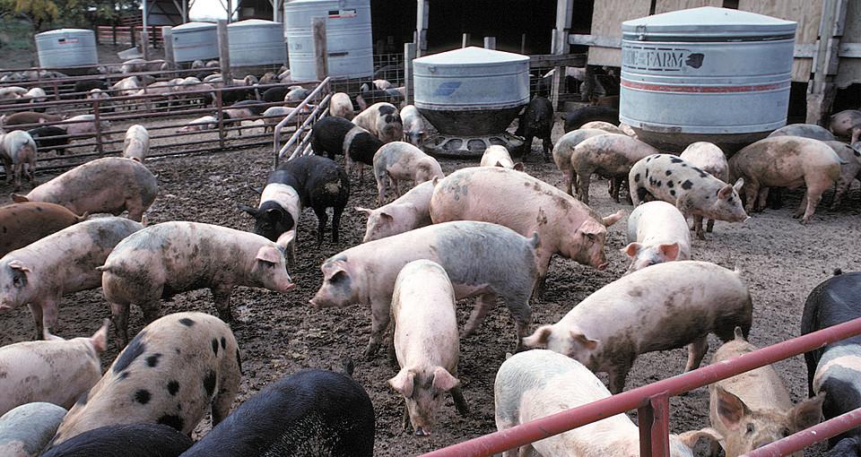 Hogs being fed in Iowa hoglot.