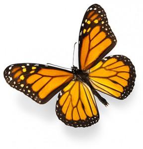Help Make Milkweed Seed Balls For Monarch Butterflies June
