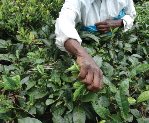 A worker picking tea leaves by hand