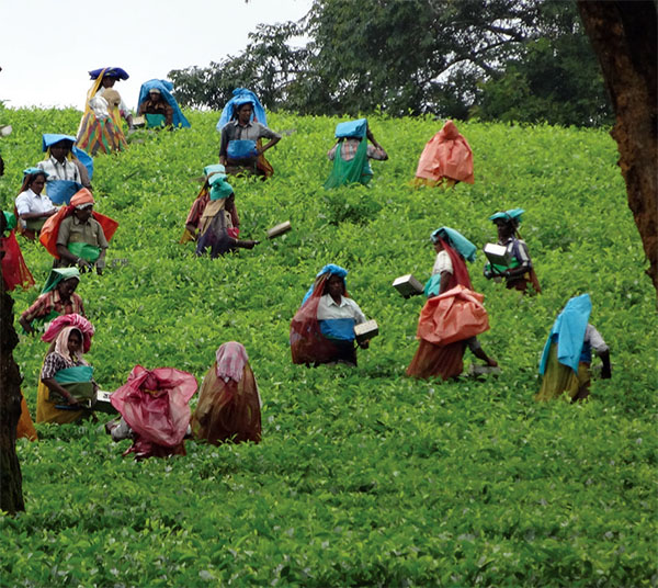 Tea pickers in the fields in southern India