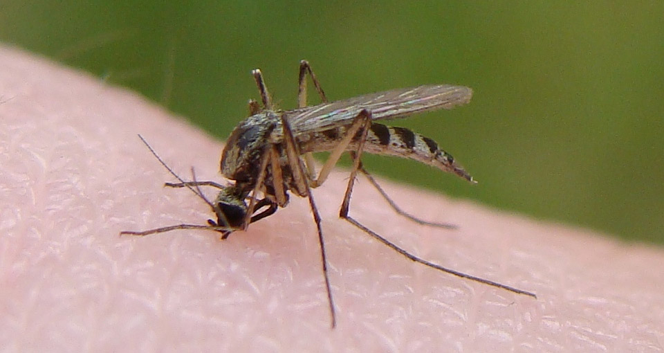 Close-up shot of a mosquito.