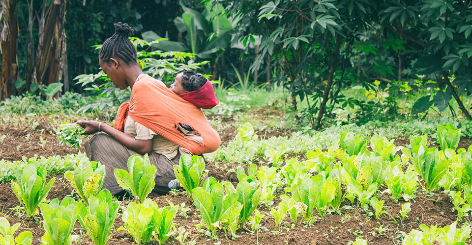 Ethiopian farmer picking lettuce in a orchard in Ethiopia with a baby on her back