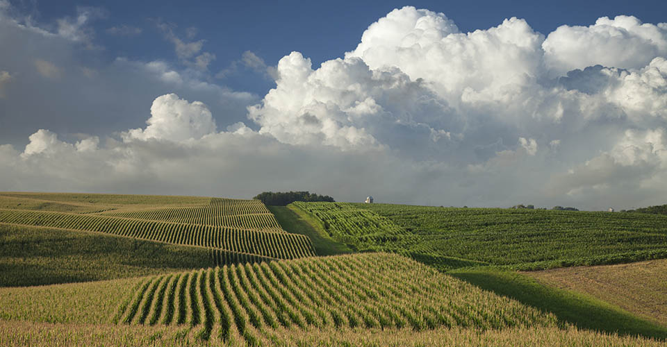 Corn and soybean fields in Minnesota