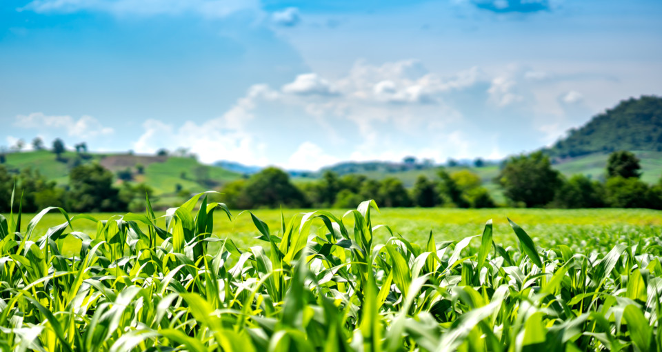 corn or maize in cornfield farm on mountain and blue sky background
