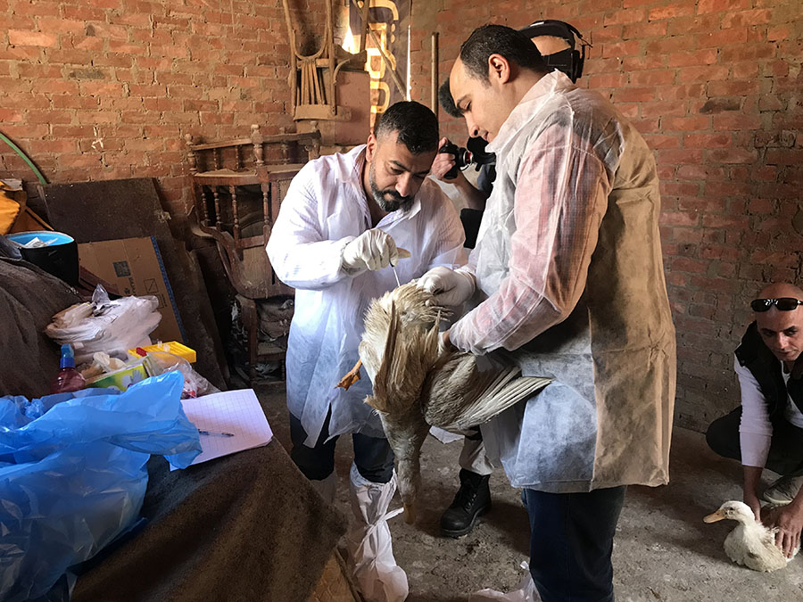 researchers led by Ghazi Kayali sampling poultry in Egypt